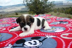 Meet Harley a cute Jack Russell Terrier puppy for sale for $350. Jack Russell Terrier Male Registered Purebred
