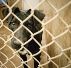 URGENT!!! Will DIE if not adopted before 7pm Thursday!!!  Lab mix female 1-2 years old Kennel A15  $51 to adopt   Located at Odessa, Texas Animal Control.  https://www.facebook.com/speakingupforthosewhocant/photos/pb.248355401855372.-2207520000.1412942651./854242387933334/?type=3&theater