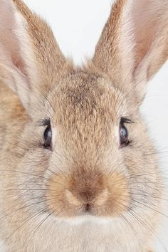 Close up of a domestic rabbit, bred from European or common rabbits, Oryctolagus cuniculus.
