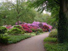 Violette und rote Rhododendron im Rhododendronpark der Hansestadt Bremen