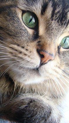 Beautiful Kittens, Pretty Cats, Animals Beautiful, Cute Animals, Cute Baby Cats, Cute Cats And Kittens, Kittens Cutest, Oriental Cat, All About Cats