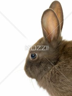 dark brown rabbit head - Dark brown rabbit head isolated in a white background