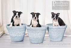 Grow your own Boston Terriers