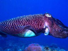 cuttlefish-at-Club-Paradise