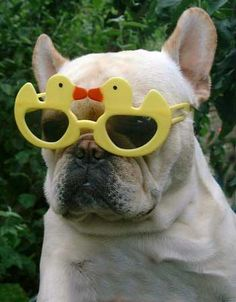 Frenchie sunglasses - We need some of these for Willie. Funny Animal Pictures, Funny Animals, Cute Animals, Cute Dog Photos, Pet Costumes, Pictures Of The Week, Animal Fashion, Cool Cats, Puppy Love