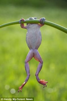 Amateur photographer Hendy Mp took pictures of the frog in a friend's back garden in Sambas, Indonesia