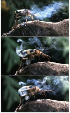 The Bombardier Beetle can blast boiling liquid at it's enemies