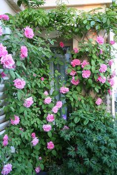 zéphirine drouhin – Un jardin sur un balcon Water Garden, Garden Plants, Pagoda Patio, Screened In Patio, Patio Lighting, Climbing Roses, Clematis, Garden Projects, Garden Ideas