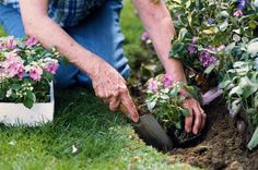 Lilac Pruning, Good Article Prune 1/3 of the oldest branches each year, all the way to the ground. Start by taking out the thickest stems first.
