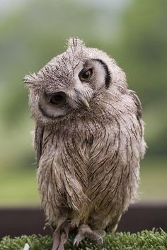 so you think I'm just an owl, ha! I'm an owl tilting his head like he asked you a question! Beautiful Owl, Animals Beautiful, Cute Animals, Wild Animals, Baby Animals, Pretty Birds, Love Birds, Owl Always Love You, Owl Bird