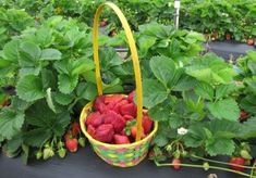 Outer Banks things to do with kids - strawberry picking #OBX #OuterBanks #OuterBanksVisit