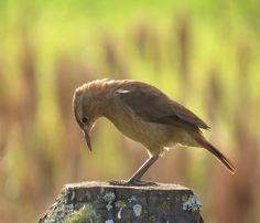 Foto joão-de-barro (Furnarius rufus) por Aline Patricia Horikawa | Wiki Aves - A Enciclopédia das Aves do Brasil