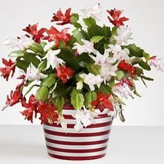Red + White Christmas Cactus - modern - plants - by RedEnvelope Christmas Cactus Plant, Easter Cactus, Christmas Flowers, Green Christmas, Cactus Flower, Flower Pots, Christmas Planters, Cactus Pot, Xmas