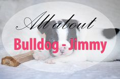 All about my Bulldog - Jimmy  ❤
