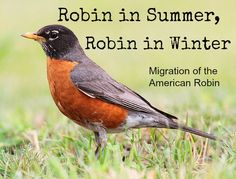 Robin in Summer, Robin in Winter I associate the American Robin with spring and summer here in Michigan, but we also see some robins during the winter.