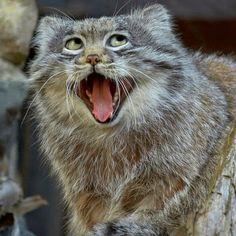 Le+chat+de+Pallas,+une+espèce+rare,+est+l'un+des+animaux+les+plus+mignons