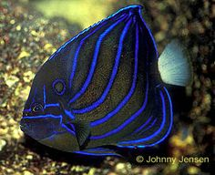 Blue Ring Angelfish, Pomacanthus annularis