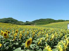 Sun flowers Italy by Roberto Bertuol, via Flickr