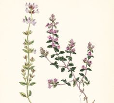Thyme Flower Tattoo 1000 images about t a t t o o s on pinterest ...
