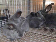 #Homestead #Rabbits - AZ Rabbit's website on raising rabbits! An amazing resource!