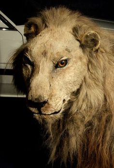 Wallace the Lion from Sunderland Museum - I first saw Wallace when I was about 4 year old. Victorian Buildings, North East England, Sunderland, Historical Pictures, Durham, Past, Lion, Childhood, Museum