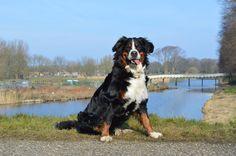 Our Bernese Mountain Dog Elin