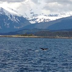 Whale breaching in Auke Bay, Alaska.