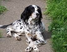 Crossed paws are common pose for English Setters
