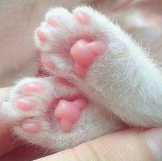 Why are cat paws so cute? Animals And Pets, Baby Animals, Cute Animals, Pink Animals, Crazy Cat Lady, Crazy Cats, Beautiful Cats, Animals Beautiful, Cat Paws