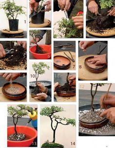 Pasos Para Crear Un Bonsai Cuidado De Plantas Board: Bonsai Terrariums Ikebana, Bonsai Tree Care, Bonsai Tree Types, Plantas Bonsai, Bonsai Garden, Garden Plants, Cactus Plante, Bonsai Styles, Mini Bonsai