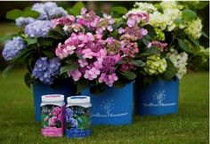 Hydrangea fertilizer to turn them blue or pink