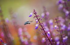 Thyreus decorus . 波 琉 璃 紋 花 蜂