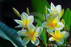 Fiori splendidi del Frangipani
