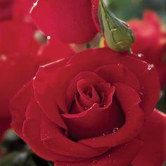 Veterans Honor® Dark Red Hybrid Tea Rose