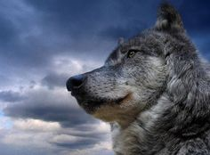 The reason for the evolution of dogs from wolves has changed since the gene so that it can digest human food