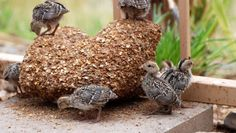 City Farming With Backyard Quail – An Alternative To Raising Chickens