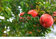 割れて実を覗かした赤いザクロ Pomegranate, Apple, Fruit, Food, Apple Fruit, Grenada, Hoods, Meals, Apples