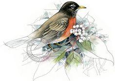 American Robin watercolour - bird art, wildlife art - nature print of original artwork
