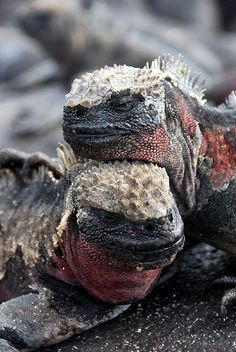 The Galapagos Marine Iguana is a one of a kind lizard found only on the Galapagos Islands. This interesting creature is the only sea-going lizard on earth. Beautiful Creatures, Animals Beautiful, Cute Animals, Animals Amazing, Reptiles And Amphibians, Mammals, Geckos, Mon Zoo, Marine Iguana