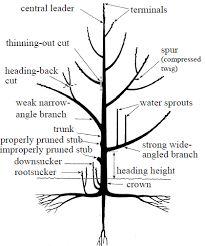 Why Prune Fruit Trees? Prune Fruit, Pruning Fruit Trees, Tree Pruning, Trees To Plant, Companion Planting Chart, Tree Diagram, Tree Structure, Plum Tree, University Of Maryland
