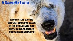 Despite Public Outcry Arturo the Polar Bear Remains in His hot Prison http://onegr.pl/1rFRaFV   #Storm4Arturo pic.twitter.com/VT3xQiA3W8