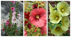 If you love cottage garden flowers, try growing hollyhocks. They add great height to a border and bloom all summer into early fall.