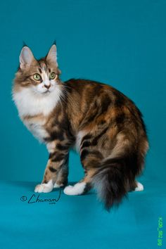 Brown Patch Classic Tabby + White Turkish Angora