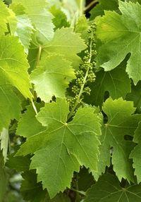 Tailler la vigne en été pour produire plus