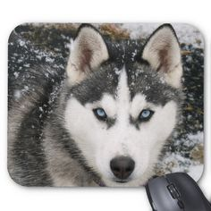 In this article, amazing siberian husky dogs with you. Siberian husky my favorite type of dog. External appearance is affecting me a lot. Let's talk a little siberian husky features. Le Husky, Siberian Husky Puppies, Husky Puppy, Siberian Huskies, Husky Eyes, Husky Mix, Baby Huskies, Alaskan Husky, Tier Wallpaper