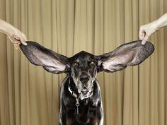 Todo sobre la otitis en perros: causas, síntomas y tratamiento