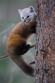 Pine Martens are like really mini wolverines, they have so much character!   Pine Martin by Peter Tamas, photographer