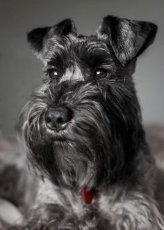 "Explore our web site for additional details on ""schnauzer puppies"". It is an outstanding spot to read more. Explore our web site for additional details on schnauzer puppies. It is an outstanding spot to read more. Miniature Schnauzer Puppies, Giant Schnauzer, Schnauzer Puppy, Fox Terriers, I Love Dogs, Cute Dogs, Family Dogs, Beautiful Dogs, Mans Best Friend"