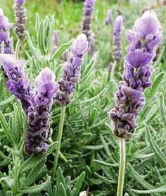 Lavandula dentata, Evermore Blue,
