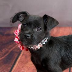 Meet Sonata, an adoptable Terrier looking for a forever home. If you're looking for a new pet to adopt or want information on how to get involved with adoptable pets, Petfinder.com is a great resource.